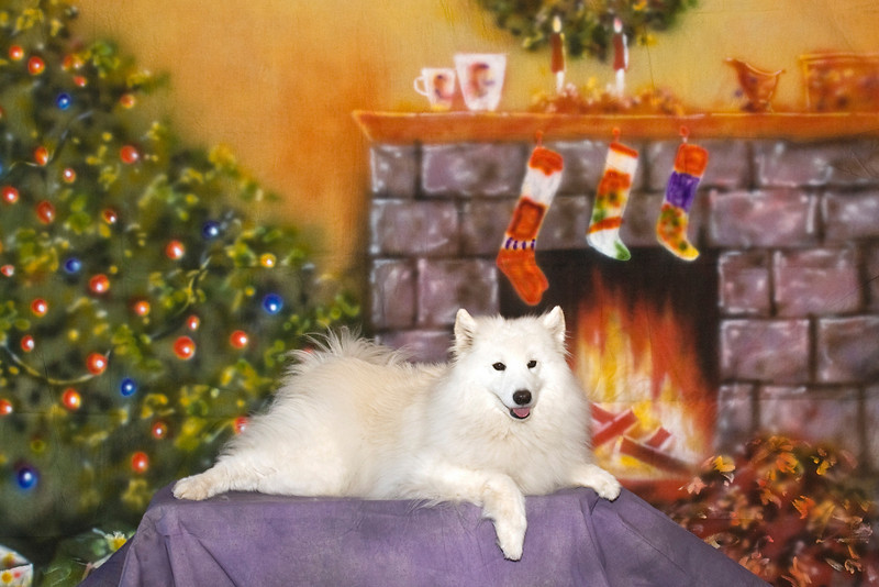 Cher - Castle's Cherished White Gold, CGC - Cher is definitely on Santa's list to receive lots of doggy toys.  Cheryl & Frank West love this little girl.