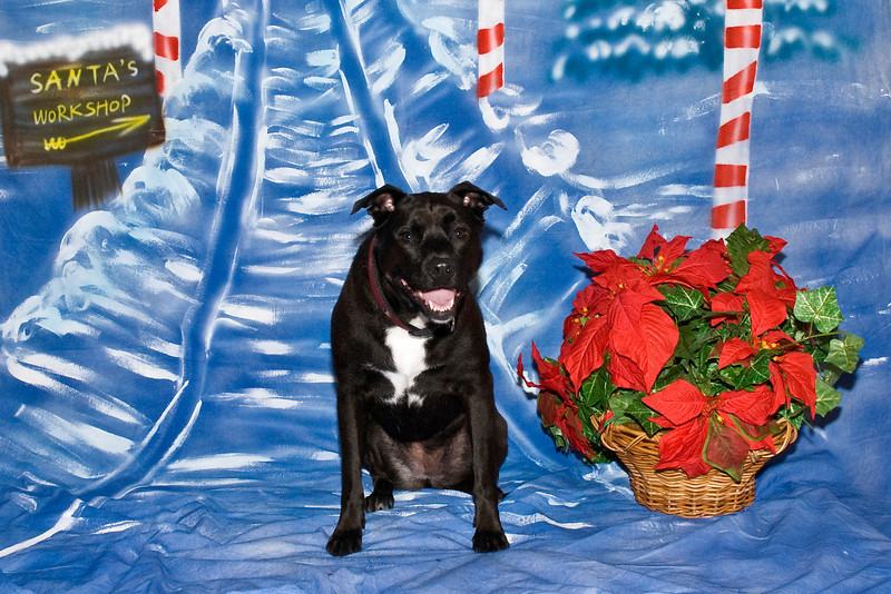 Gracie, a Terrier-Lab mix, poses for her Christmas photos.  She  is loved and owned by Judy Converso.