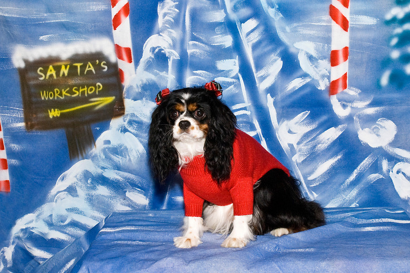 Joi, a beautiful King Charles Cavalier, is owned and loved by Nita Zimmer.