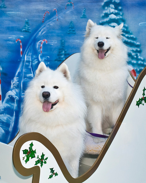 Jagger & Lil' Bit sit their prettiest for their Christmas photos.  These beautiful Samoyeds are owned and loved by Carol & Phillip Thomas.