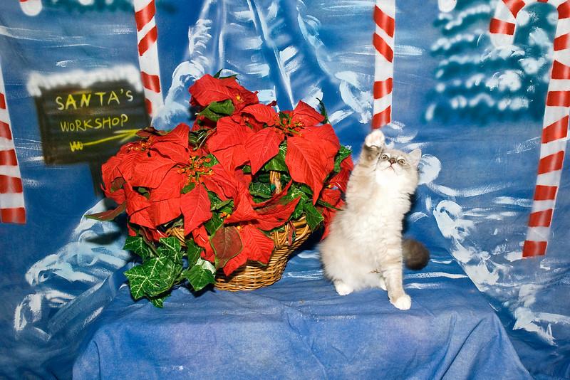 Rocky Bandit, an adorable Ragdoll kitten, is loved by Rosie Kahanek.