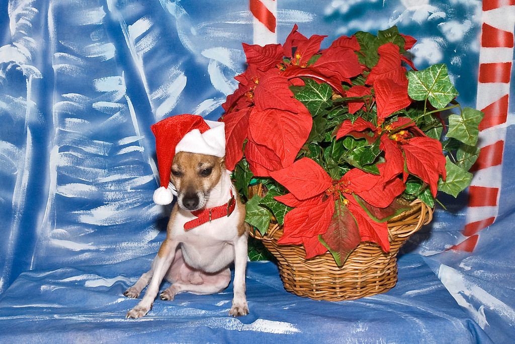 Toby, a Rat Terrier, is owned and loved by Robyn Deans.