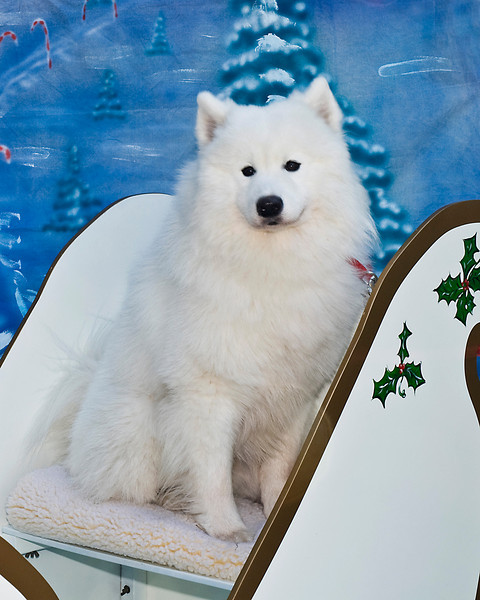 Lou Blue shows just how handsome a young Samoyed male can be.  Lou Blue is adored by his owner, Margaret Newton.