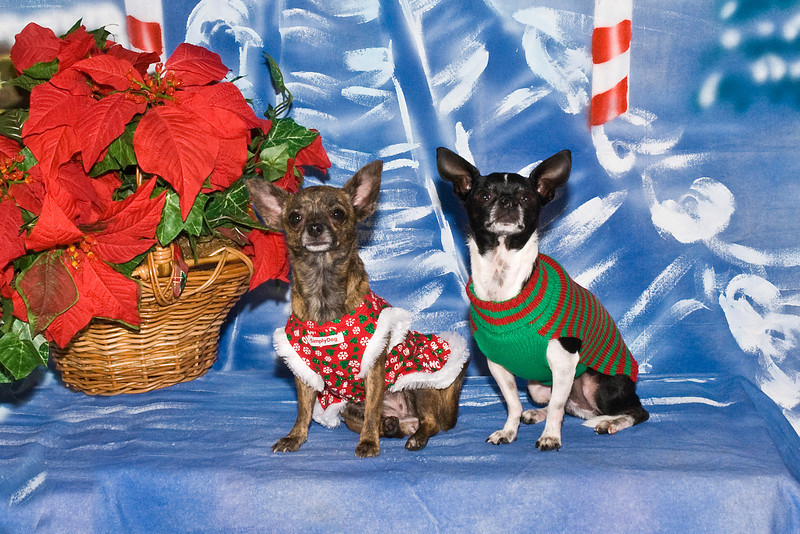 Bella and Weinke, two Chihuahuas, are owned and loved by Lynn Fabiano.
