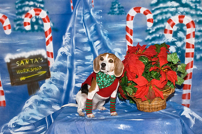 Cheddar, a Beagle, poses for her Christmas photos.  She is dearly loved by Babara Croswell.