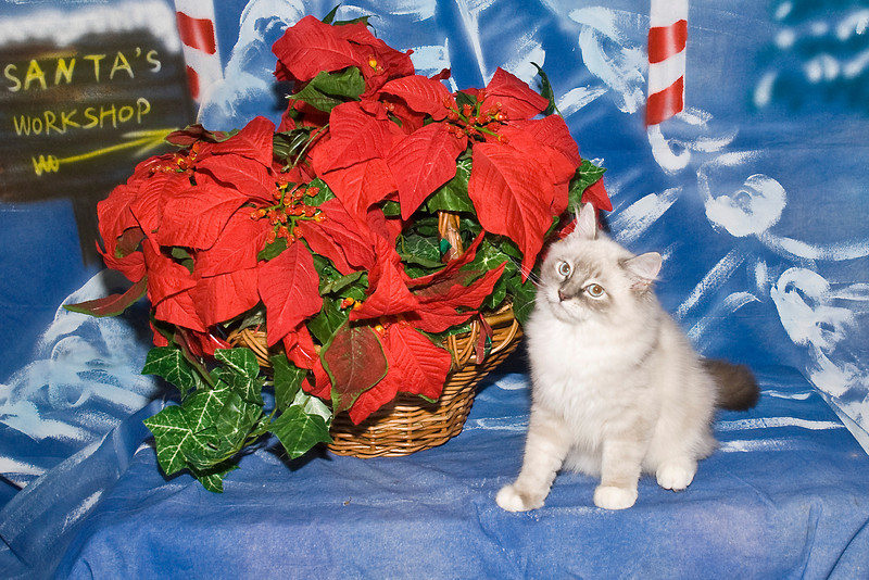 Rocky Bandit, a Ragdoll kitten, poses for his Christmas picture.  This adorable baby is loved by Rosie Kahanek.