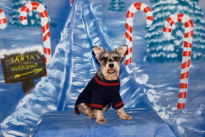 Fritz, a Miniature Schnauzer, poses for his holiday pictures.  He is loved by the Renee Carlson family.