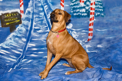 Molly, a Rhodesian Ridgeback, is enjoying having her holiday photos taken.  She is owned and loved by James Warner.