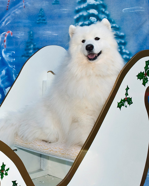 Blade poses in the sled, which he and other Samoyeds pull during the Christmas parades in Florida.  Blade is owned and loved by Georgann & LaWayne Wyatt.