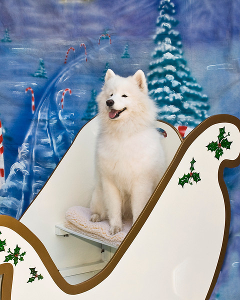 Nika poses her absolute prettiest, flashing that gorgeous Samoyed smile.  Nika is loved and adored by her owner, Fr. Bob Evancho.