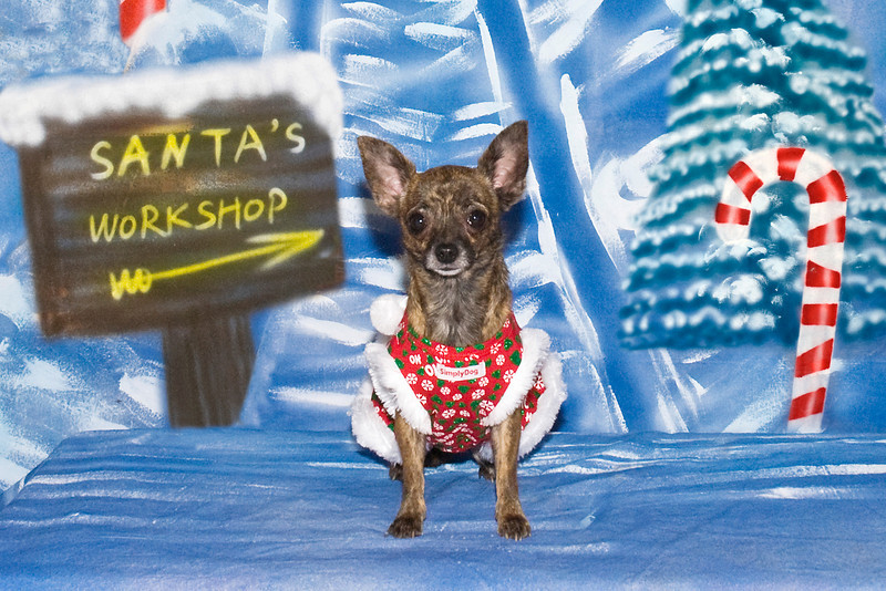 Bella, a Chihuahua, poses for her Christmas pictures.  This sweet girl is owned and loved by Lynn Fabiano.