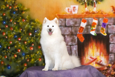 Rasia - AKC, UKC, Int CH Castle's Rasia of White Gold, HT, HCT, JHD, CGC - Rasia wants everyone to have a Merry Christmas and Happy New Year, filled with Sammy smiles.  Rasia is loved and adored by Cheryl & Frank West.