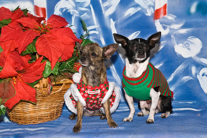 Bella and Weinke pose for their Christmas pictures.  The Chihuahuas are owned and loved by Lynn Fabiano.