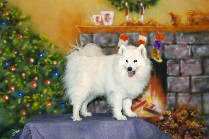 Skye - UKC, Int CH White Gold's Skye's The Limit, HT, PT, HCT, JHD, HTD1-s, CGC - Skye wants to get the jump on Santa and steal his bag of goodies as he comes down the chimney.  Cheryl & Frank love Skye, even though she gets the better of them constantly.