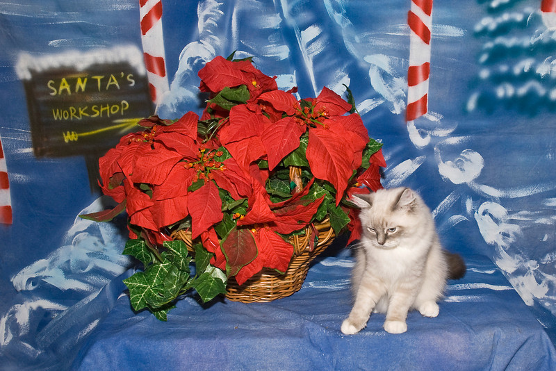 Rocky Bandit, an adorable Ragdoll kitten, is loved by Rosie Kahanek.