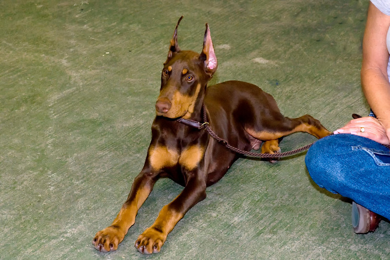 This young Doberman Pinscher male is owned by Jade Buchanan.