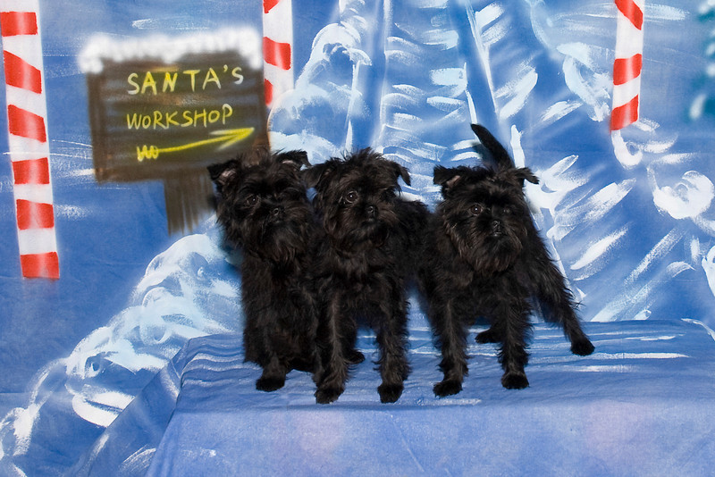 Mani, Luna & Cese, three adorable Affenpinscher puppies, are owned by Lois Brockson