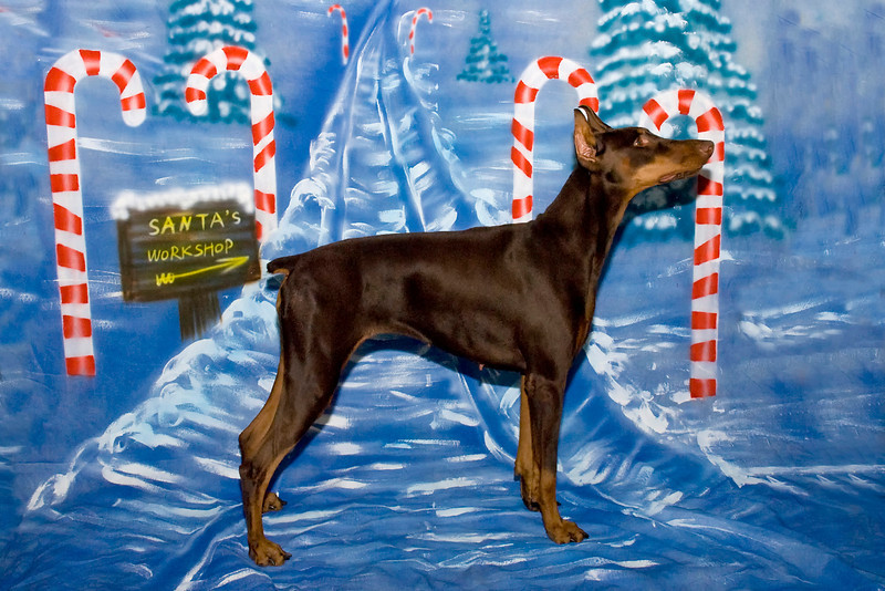 Penny, a red Doberman Pinscher, is owned and loved by Pam Curran.