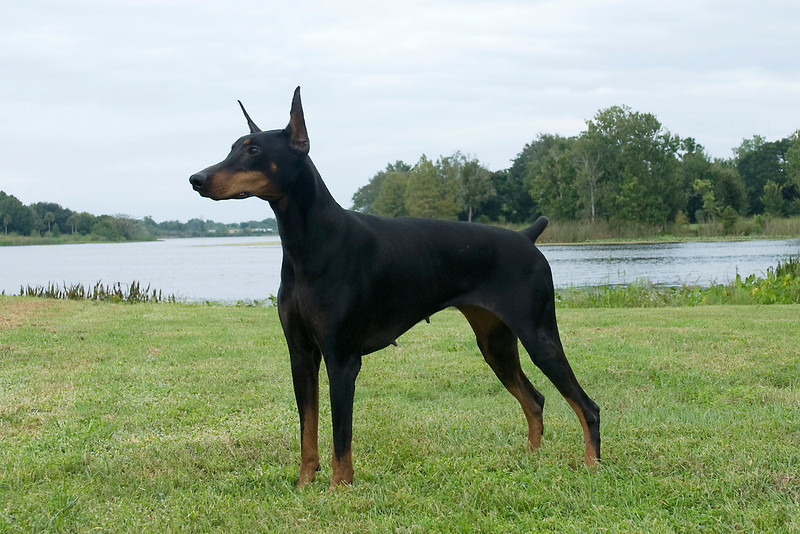 Tula, a Doberman Pinscher, is owned by Anita Houchins.