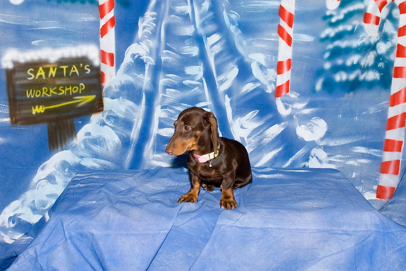 Illey, a Standard Dachshund puppy, is owned by the Buchanan family.
