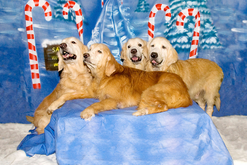 Michele Paneltta's four Golden Retrievers beautifully pose for their Christmas photos.