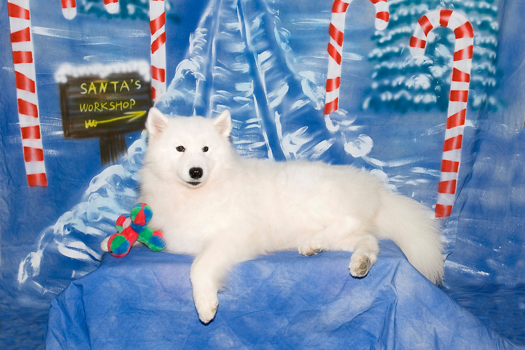 Laura Segers' Samoyed, Kiska, is waiting patiently for Santa to bring her more toys.