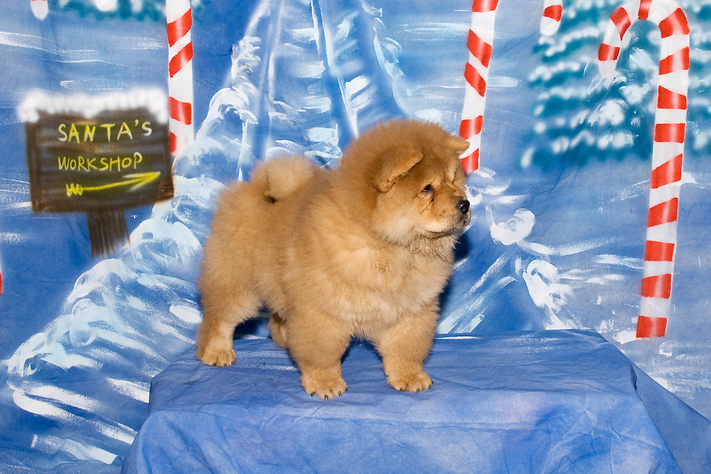 Bronia Potts' new Chow Chow puppy, Andy