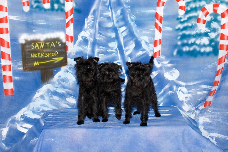 Mani, Luna & Cese, three adorable Affenpinscher puppies, are owned by Lois Brockson.