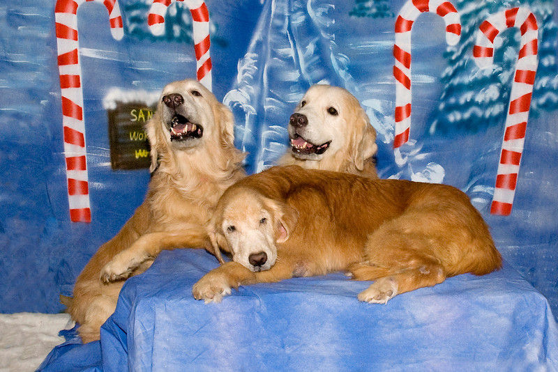 Three of Michele Paneltta's Golden Retrievers pose for their Christmas photos.