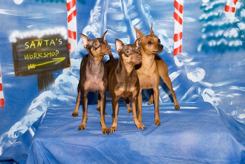 These three Miniature Pinschers are owned by Natassia Chong.