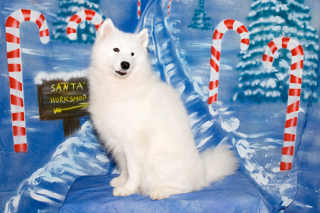 Laura Segers' Samoyed, Kiska, poses for her Christmas picture.