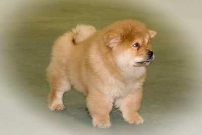 Bronia Potts' new Chow Chow puppy, Andy, freestacking