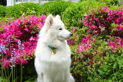 Samoyed (CH Castle's Rasia of White Gold, HT)