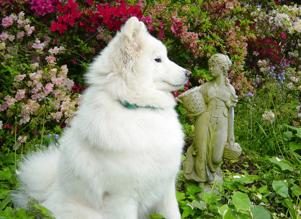 Samoyed (CH Castle's Rasia of White Gold, HT)