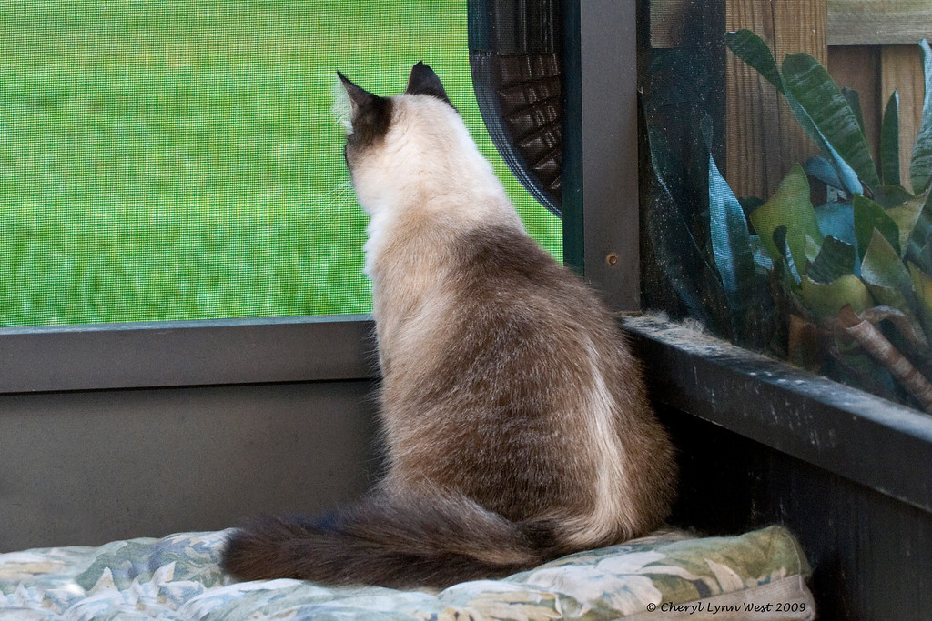 Jason, my mixed breed Birman cat, displayed typical cat behavior and distain for having his picture taken.
