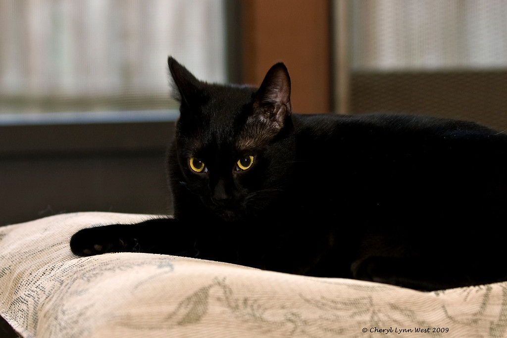 Griffin, a black domestic short-hair, is doing his best ferious panther imitation