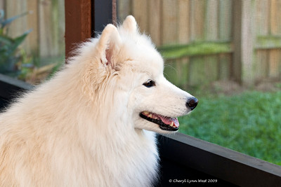 Cher (Castle's Cherished White Gold) is my biscuit Samoyed.