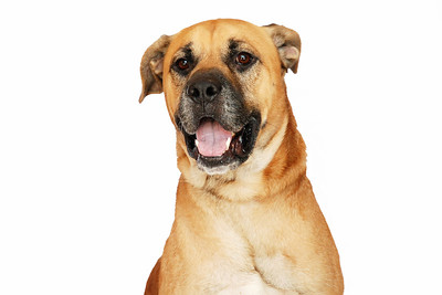 Bryan - A267500 - 6 year old male, German Shepherd / Boxer mix
