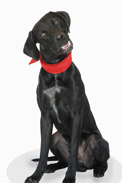 Fencer - A267864 - 9 month old male Labrador Retriever/mix - black & white