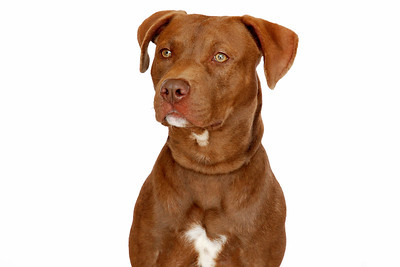 Fawned - A266770 - 8 month old male, chocolate & white pit bull terrier