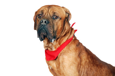 Handsome - A265960 - 7 year old male Bullmastiff