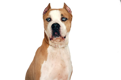 Meathead - A266954 - 5 year old male, tan & white pit bull terrier