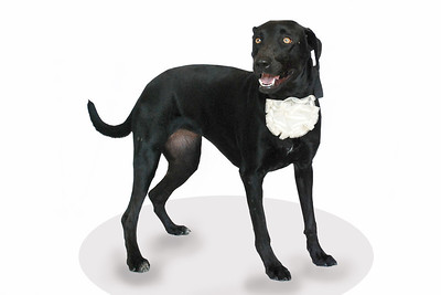 Angie - A267689 - 2 year old Labrador Retriever/mix - female