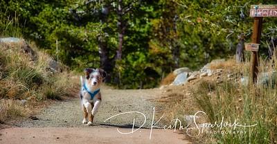 Australian Sheppard Puppy Running