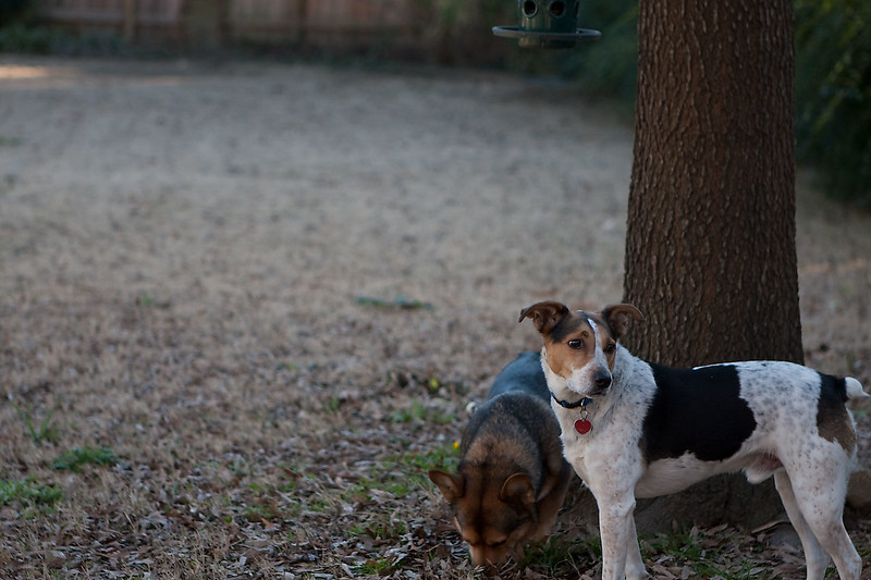 2008-12-29.Dogs with 135mm Lens.136-61