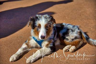 Australian Sheppard Taking a Break
