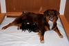 Rubi and her 5 pups<br /> Black tri boy #4, Black tri girl #3, Black tri girl #1, Black tri boy #2, Red tri boy #5