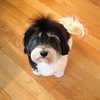 Name: Vivienne; <br /> Breed: Havanese; <br /> Origin of name: Unknown<br /> (Submitted photo)