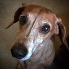 Name: Keener; <br /> Breed: Dachshund; <br /> Origin of name: Named after a sign that is on the side of a barn in Ohio<br /> (Submitted photo)