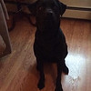 Name: Madison; <br /> Breed: Labrador; <br /> Origin of name: Rescued from a kill shelter in Madison, Tenn.<br /> (Submitted photo)